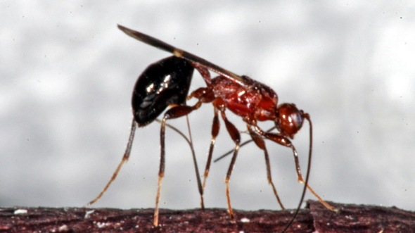 Chinese Stingless Wasp ~ photo credit  U.S. Dept of Agriculture