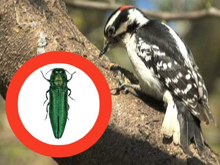 Woodpecker-Emerald Ash Borer